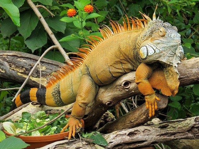 Ketahui Jenis Galapagos Iguana Lebih Dalam Dari Habitatnya