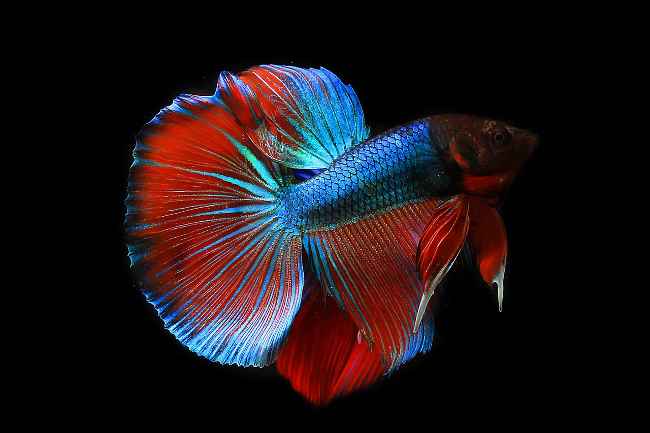 Dijamin Untung, Yuk Cari Tahu Cara Budidaya Ikan Cupang