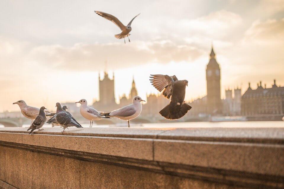 Cara Mengeketkan Burung Dara Dengan Baik dan Benar