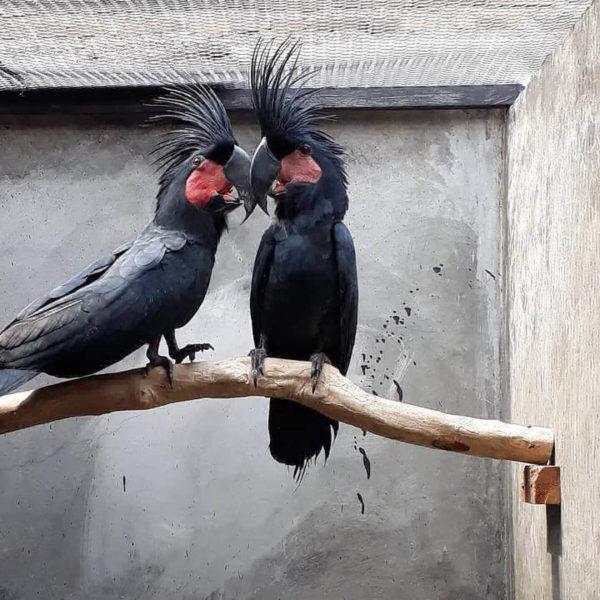 Black Palm Cockatoo (Goliath Cockatoo)