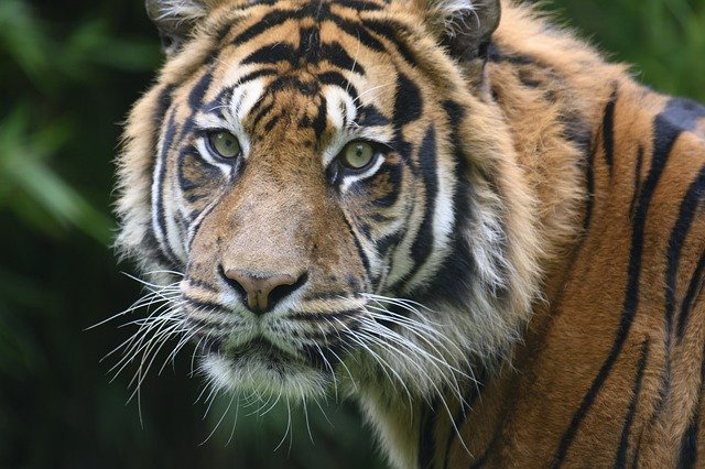 Harimau Hitam